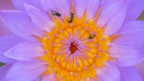 Cierre encima de las pequeñas abejas que suben el polen púrpura del loto en el canal almacen de video
