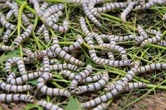 Cierre encima de los gusanos de seda que comen la hoja del verde de la mora fotografía de archivo libre de regalías