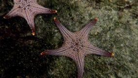 Cierre encima de pescados de la estrella en acuario almacen de video