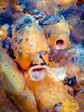Cierre encima de pescados de oro de la carpa imágenes de archivo libres de regalías