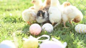 Cierre encima de pollos recién nacidos en tono caliente y del pico en el campo de hierba en fondo verde
