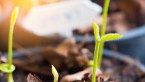 Cierre encima del alatus Roxb del dipterocarpus las hojas jovenes de la planta fotos de archivo libres de regalías