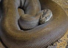 Cierre encima del birmano Python del verde de Patternless en la arena imágenes de archivo libres de regalías