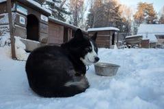 Cierre encima del huskie hermoso del perro en un ambiente natural imagen de archivo