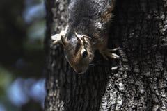 Cierre encima del medio retrato del cuerpo de una ardilla caucásica en un tronco de árbol al revés foto de archivo libre de regalías