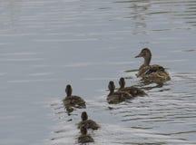 Cierre encima del pato femenino salvaje del pato silvestre, wingeon, con los anadones de los jóvenes Platyrhynchos de las anecdot foto de archivo