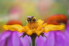 Cierre encima del retrato de una abeja en las flores amarillas Imagen de archivo