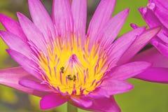 Cierre - encima del rosa waterlily con la abeja en la charca Foto de archivo