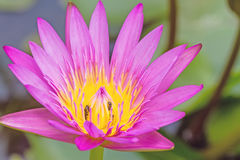 Cierre - encima del rosa waterlily con la abeja en la charca Fotos de archivo