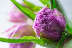 Cierre encima del tulip?n p?rpura fresco hermoso macro con el fondo de los descensos imagen de archivo libre de regalías