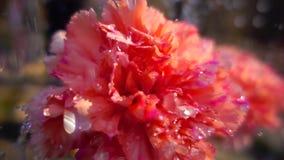 Cierre encima del vídeo de la cámara lenta de la flor del clavel