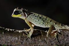 Cierre enmascarado del crucigera de Acanthosaura del lagarto espinoso para arriba Imagenes de archivo