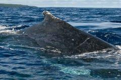 Cierre enorme encima de la parte posterior y de la cola de la ballena jorobada que entran abajo en el mar polinesio azul Foto de archivo libre de regalías