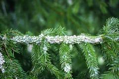 Cierre espinoso verde de la rama de árbol de abeto para arriba foto de archivo libre de regalías