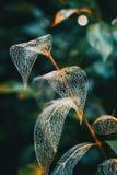 Cierre esquelético de la macro de la hoja delicada para arriba fotografía de archivo