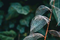 Cierre esquelético de la macro de la hoja delicada para arriba fotos de archivo