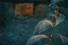 Cierre esquelético de la macro de la hoja delicada para arriba foto de archivo libre de regalías