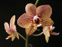 Cierre estupendo de la flor del hibrid de Phaleanopsis para arriba Imágenes de archivo libres de regalías