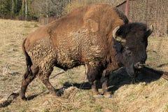 Cierre europeo del bisonte para arriba en el parque fotografía de archivo libre de regalías