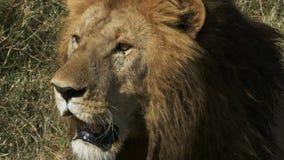 Cierre extremo del león masculino para arriba en masai Mara, Kenia metrajes