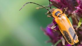 Cierre extremo encima de la macro del escarabajo amarillo oscuro del soldado - en wildflower en Theodore Wirth Park imagenes de archivo
