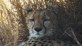 Cierre extremo para arriba de la cara de un guepardo en masai Mara almacen de metraje de vídeo