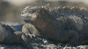 Cierre extremo para arriba de la cara de una iguana marina en el isla Santa Cruz en las islas de las Islas Galápagos metrajes