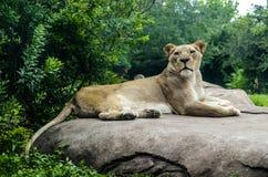 Cierre femenino del león para arriba Imagen de archivo libre de regalías