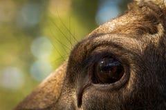 Cierre femenino del ojo de los alces o del alces europeo del Alces de los alces para arriba Fotografía de archivo