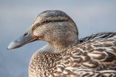 Cierre femenino del pato silvestre para arriba Fotos de archivo libres de regalías