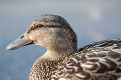 Cierre femenino del pato silvestre para arriba Imagen de archivo
