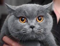 Cierre femenino del retrato del gato británico azul del shorthair para arriba Imágenes de archivo libres de regalías