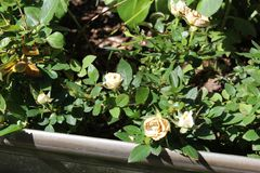 Cierre floreciente blanco muerto para arriba fotografía de archivo