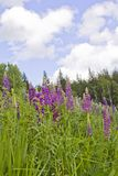 Cierre floreciente de la flor y de la hierba para arriba contra un campo y un bosque y un cielo imágenes de archivo libres de regalías