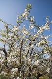Cierre floreciente de la huerta de cereza amarga Imagen de archivo libre de regalías