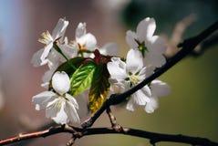 Cierre frágil blanco de la flor de cerezo de la primavera hermosa para arriba Fotos de archivo libres de regalías