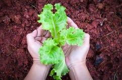 Cierre fresco de la lechuga de la ensalada para arriba en manos del granjero en el fa orgánico Foto de archivo libre de regalías