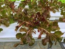 Cierre fresco de la lechuga del roble rojo encima de la bandeja blanca del agua interior en planta hidropónica imagen de archivo