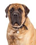 Cierre gigante del perro del mastín para arriba Fotografía de archivo