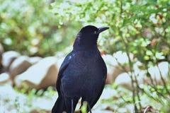 cierre Grande-atado del pájaro de Grackle para arriba en Puerto Vallarta México imagen de archivo libre de regalías