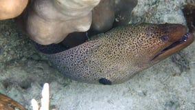 Cierre grande de la anguila de moray para arriba con profundidad baja El buceador mira una anguila de moray gigante de la vecinda metrajes