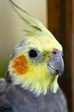 Cierre gris del cockatiel para arriba Foto de archivo libre de regalías