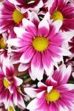 Cierre hermoso de la flor de la momia para arriba Fotos de archivo libres de regalías