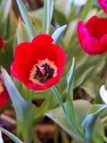 Cierre hermoso de la flor del tulipán para arriba Fotos de archivo