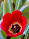 Cierre hermoso de la flor del tulipán para arriba Foto de archivo libre de regalías