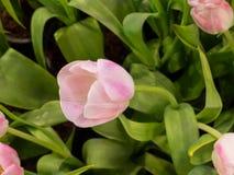 Cierre hermoso de la flor del tulipán para arriba Fotografía de archivo