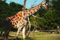 Cierre hermoso de la jirafa encima del animal imagen de archivo