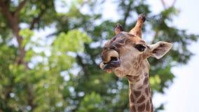 Cierre hermoso de la jirafa para arriba, jirafa Camelopardalis, el animal más alto, africano almacen de video