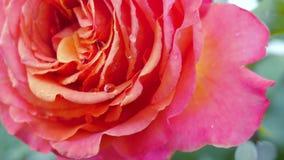 Cierre hermoso de la rosa de la naranja para arriba Fotos de archivo libres de regalías