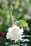 Cierre hermoso de la rosa del blanco para arriba Imagen de archivo libre de regalías
